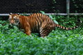 Tiger excretion is seen at zoo riding himself of waste Royalty Free Stock Photography