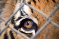 Tiger eye brown thailand cage Royalty Free Stock Photos