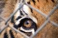 Tiger eye Royalty Free Stock Photo