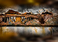 Tiger eye in metal rusty hole Royalty Free Stock Photo