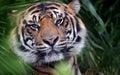 Tiger Face, Close-Up, Eye-to Eye