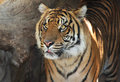 Tiger face close up portrait of with piercing stare Royalty Free Stock Image
