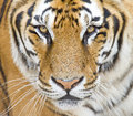 Tiger face and eyes panthera tigris Royalty Free Stock Images