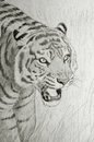 Tiger face portrait pencil drawing of Stock Photo