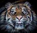 Tiger Face Tongue
