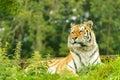 Tiger female at longleat safari park uk Royalty Free Stock Image