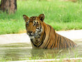Tiger fighting hot summers Royalty Free Stock Photo