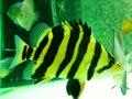 Tiger fish in the aquarium Royalty Free Stock Photo