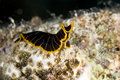 Tiger flatworm (pseudoceros cf. dimidiatus) Royalty Free Stock Photo