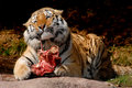 Tiger Food Royalty Free Stock Image
