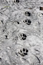 Tiger foot prints in the sand of a beach in the sundarbans of bangladesh Stock Photo