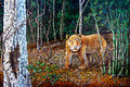 Tiger in the forest of oil painting Stock Images