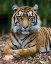 Tiger - Formal Portrait Royalty Free Stock Photo