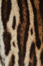Tiger fur background of texture Stock Image