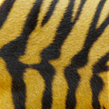 Tiger fur texture Royalty Free Stock Image