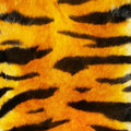 Tiger fure Stock Photography