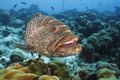 Tiger Grouper - Bonaire Royalty Free Stock Photo