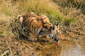 Tiger having a drink Royalty Free Stock Photo