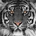 Tiger head Royalty Free Stock Photo