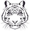 Tiger head sketch on a white background Royalty Free Stock Photography