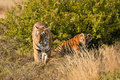 Tiger with her cub Royalty Free Stock Photo