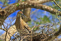 Tiger Heron in Nest Royalty Free Stock Image