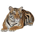 Tiger isolated on white with clipping path Royalty Free Stock Image