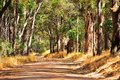 Tiger lane gravel road through forest of gum trees with shadows of tree trunks Royalty Free Stock Image