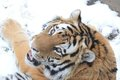 Tiger laying in snow Royalty Free Stock Images