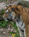 Tiger from left side