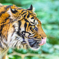 Tiger licking face side profile of a head against jungle background Royalty Free Stock Photos