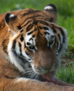 Tiger licking food Royalty Free Stock Images