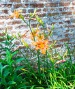 Tiger lillies and wall wild against a rustic brick on a sunny summer day Stock Photo