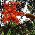 Tiger lilly Royalty Free Stock Photo