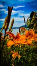 stock image of  Tiger Lily Facing River