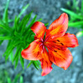 Tiger lily flower beautiful and the feeling of joy and happiness Royalty Free Stock Images
