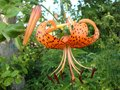 The tiger Lily high with large bright orange flowers Royalty Free Stock Photo
