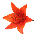 Tiger Lily Isolated on White Background Royalty Free Stock Photo