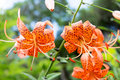 Tiger lily lilium lancifolium flowers of the in south korea Royalty Free Stock Photography