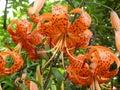 Tiger Lily - Smolinosy Royalty Free Stock Photo