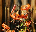 Tiger lily Royalty Free Stock Photo