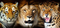 Tiger lion leorard portrait on black background Royalty Free Stock Images