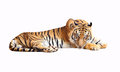 Tiger looking camera with clipping path Royalty Free Stock Image