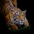Tiger looking his prey and ready to catch it Royalty Free Stock Photo
