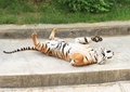 Tiger lying on back danger Royalty Free Stock Images