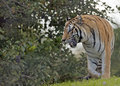 Tiger on the move a stalking prey Stock Photo