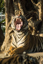 Tiger open mouth in the zoo Royalty Free Stock Photography