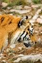 Tiger panthera tigris altaica photo Stock Image
