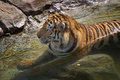 Tiger (Panthera tigris altaica) Rests in Pool Stock Images