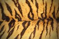 Tiger pelt Stock Photo